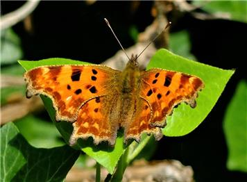 Comma on Ivy - Claire Whatley - Autumn Photographic Competition
