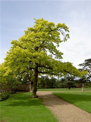 Quercus Concordia (Golden Oak) fully grown - Planting in Jubilee Gardens